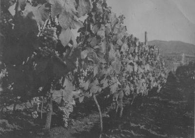 Tenuta di Pietra Porzia - Historic photo of the rows
