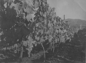 Tenuta di Pietra Porzia - Foto storica delle vigne